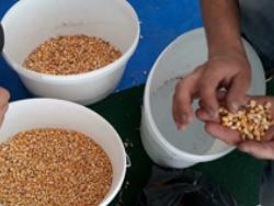 Фотосепарация кукурузы