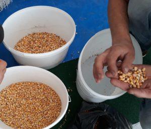 Результаты фотосепарации кукуруза фото 12